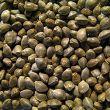 kupim semena konopli foto largest
